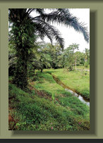 A Creek in a Forest Farm Land in the central Osa Peninsula, with Oil Palm Plantation , good rainforest, Fresh Water Springs