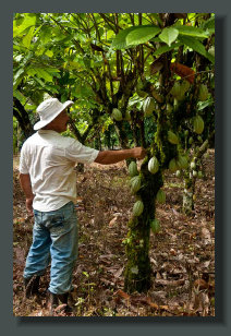 One of the Local Farmer that Help for to set a Micro Farm for a correct start, is checking a Cocoa tree in a PLantation of an Osa Peninsula Farm Land Property