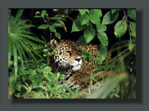 The Jaguar is still present with a good population in side the Corcovado National Park, and often visible in the Pristine Rainforest Properties and Lands in the Inner Osa Peninsula Farms and Micro Farms