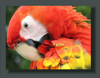 A Scarlet macaw, a common bird in the Osa Peninsula Real Estates, often visible in the streets of Puerto Jimenez and along the Beaches of the Golfo Dulce Lots, Lands, Properties
