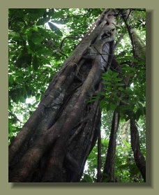 A big Tree in the forest land of this Osa Peninsula Property that is good fro Micro Farm too