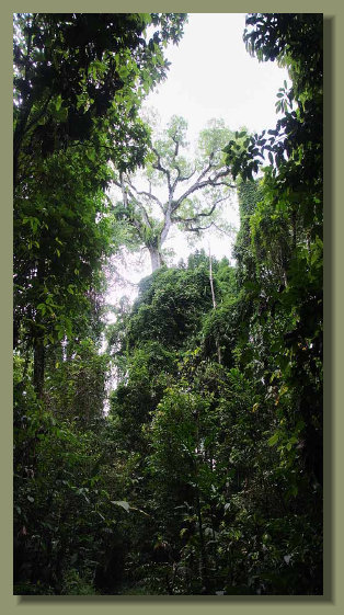 Big Ceiba Tree is gorwing in the middle of the Forest of a Farm Land in the Mountains of the Osa Peninsula