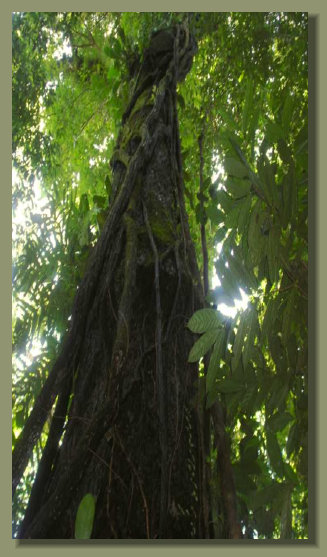 A big Tree grows in the Forestof this Land in the middle of the Osa Peninsula, south Costa Rica real estate