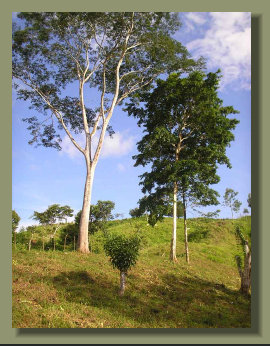 Big trees in the Pasture Land of an Osa Peninsula Farm  Farm Land Forest land with River and Fresh Water Spring